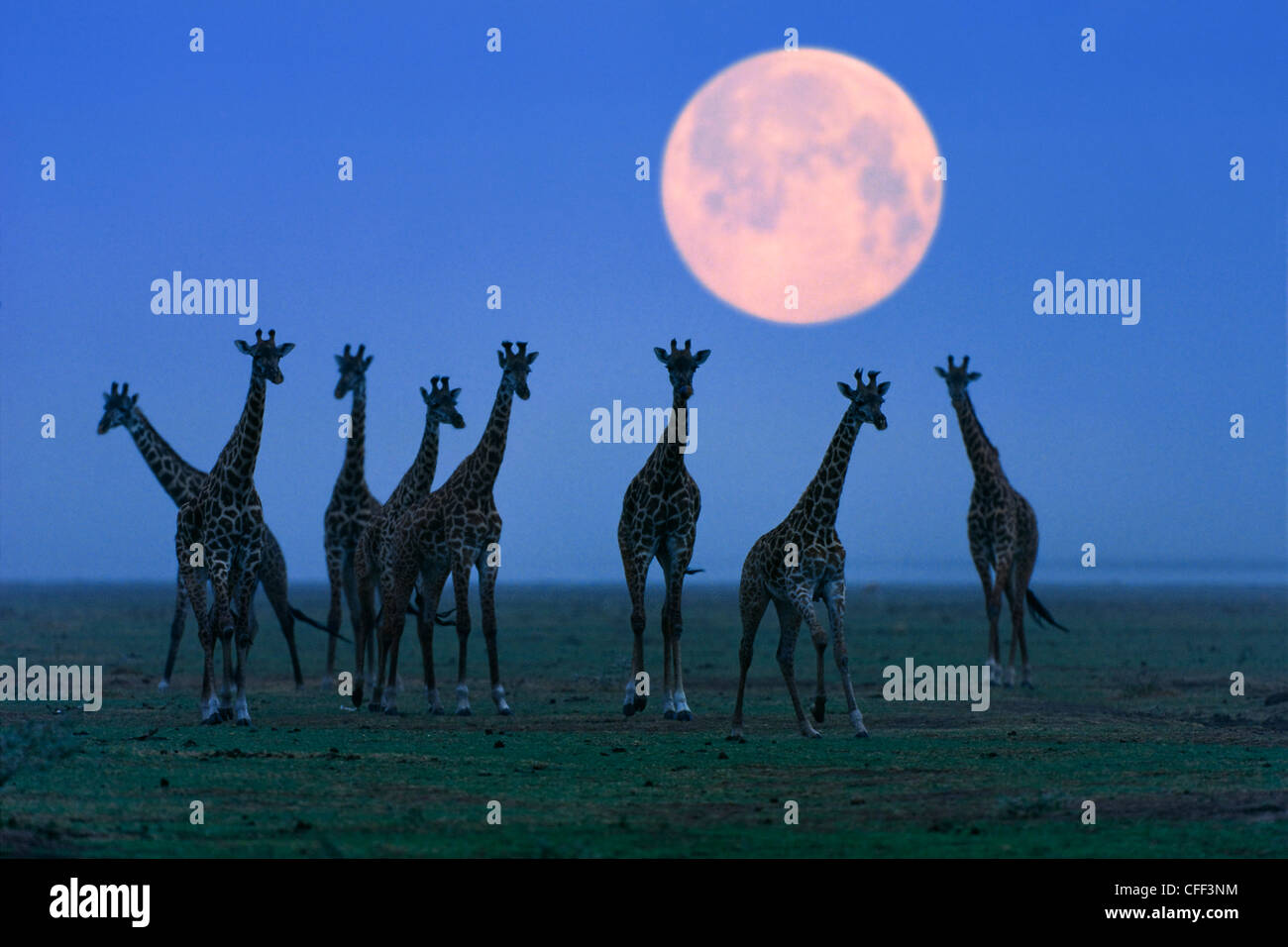 Massai giraffes at full moon, Serengeti, Tanzania, East Africa, Africa - Stock Image