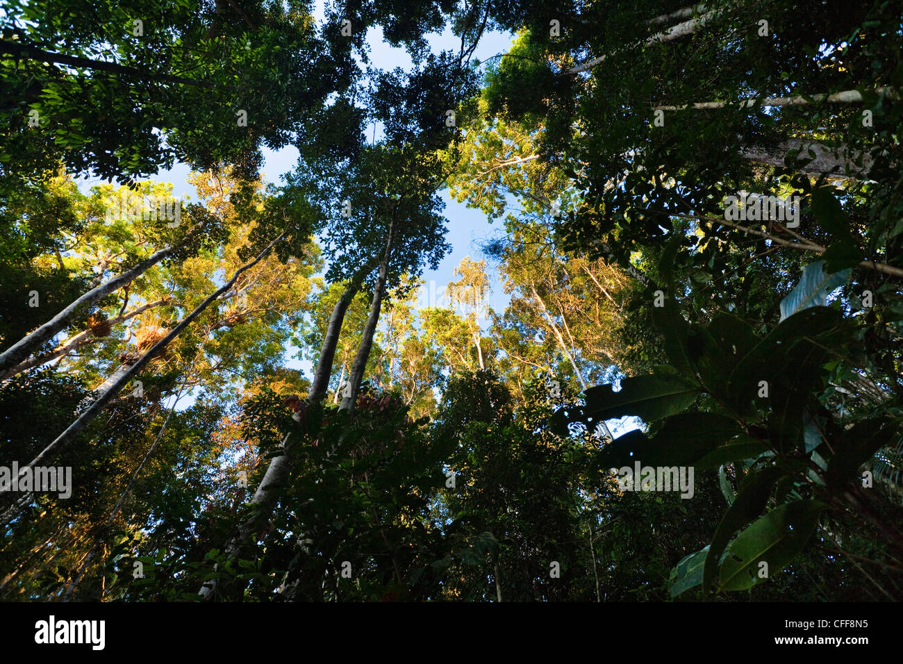 Low angle view of trees in the rainforest, Atherton Tablelands, Queensland, Australia - Stock Image