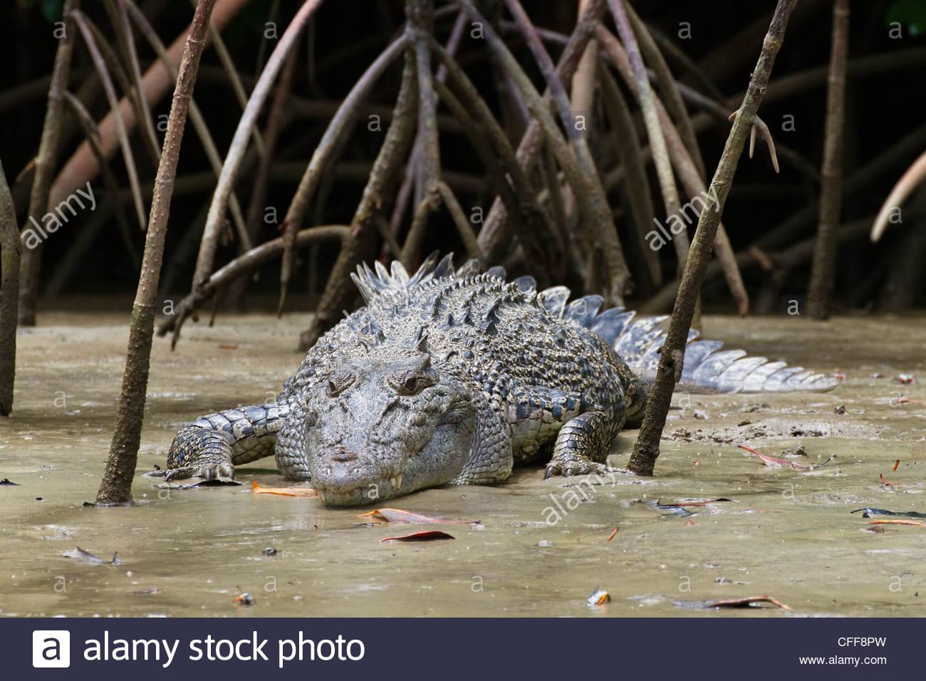 Estuarine Crocodile sunbathing amidst roots of mangroves, Crocodylus porosus, Daintree National Park, Queensland, - Stock Image