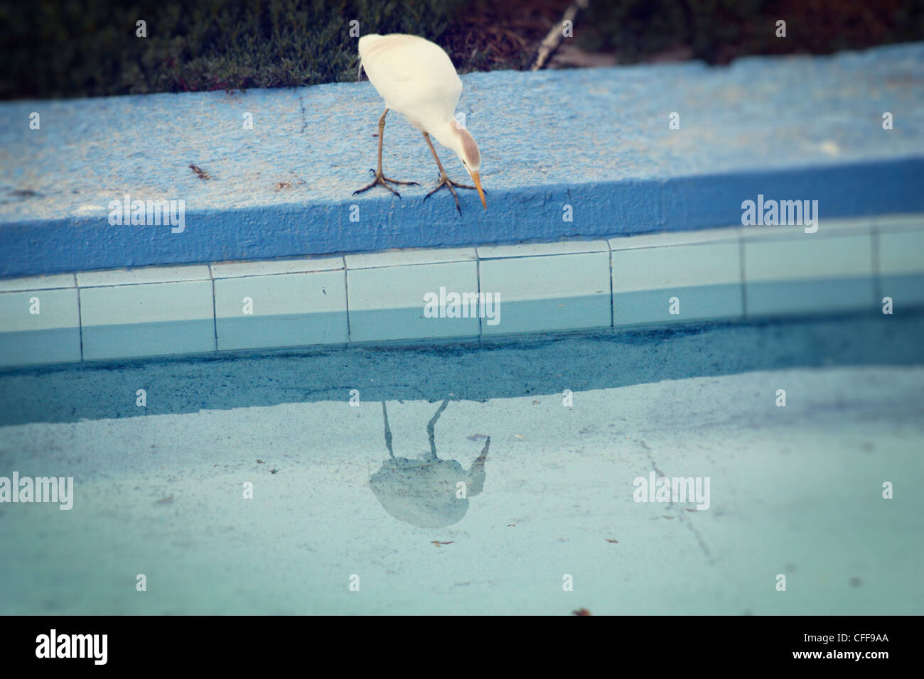 Narcissus Bird - a bird seems to be admiring its own reflection in the water of a swimming pool - Stock Image