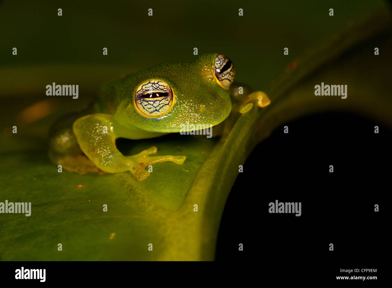 Spiny Cochran Frog, Teratohyla spinosa, at nighttime in the rainforest at Burbayar nature reserve, Panama province, Republic of Panama. Stock Photo