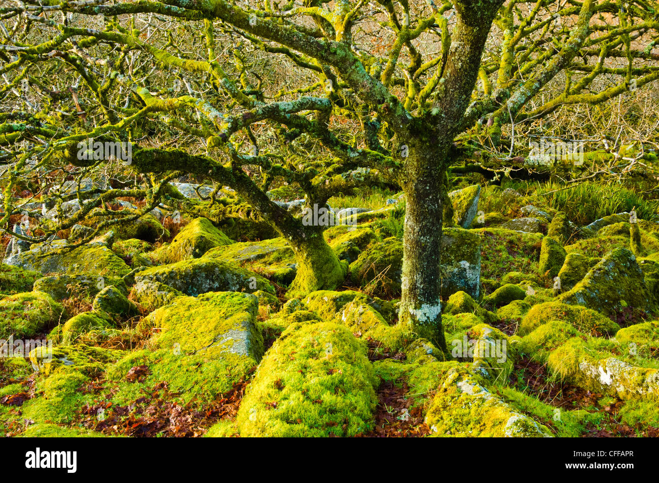 Wistman's Wood a small remnant of ancient woodland on Dartmoor Devon - Stock Image