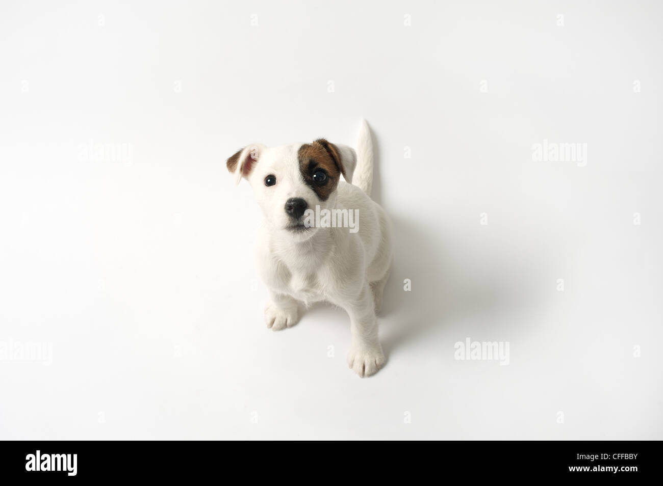 Jack Russell puppy from above on white background - Stock Image