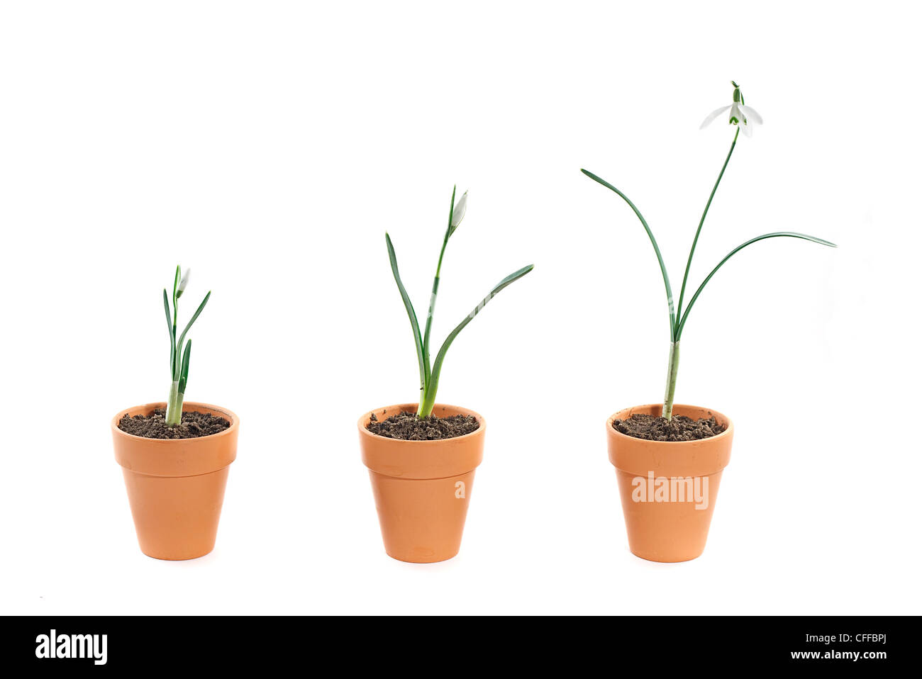 three snowdrops of various stages of growth in terracotta plant pots on a white background - Stock Image