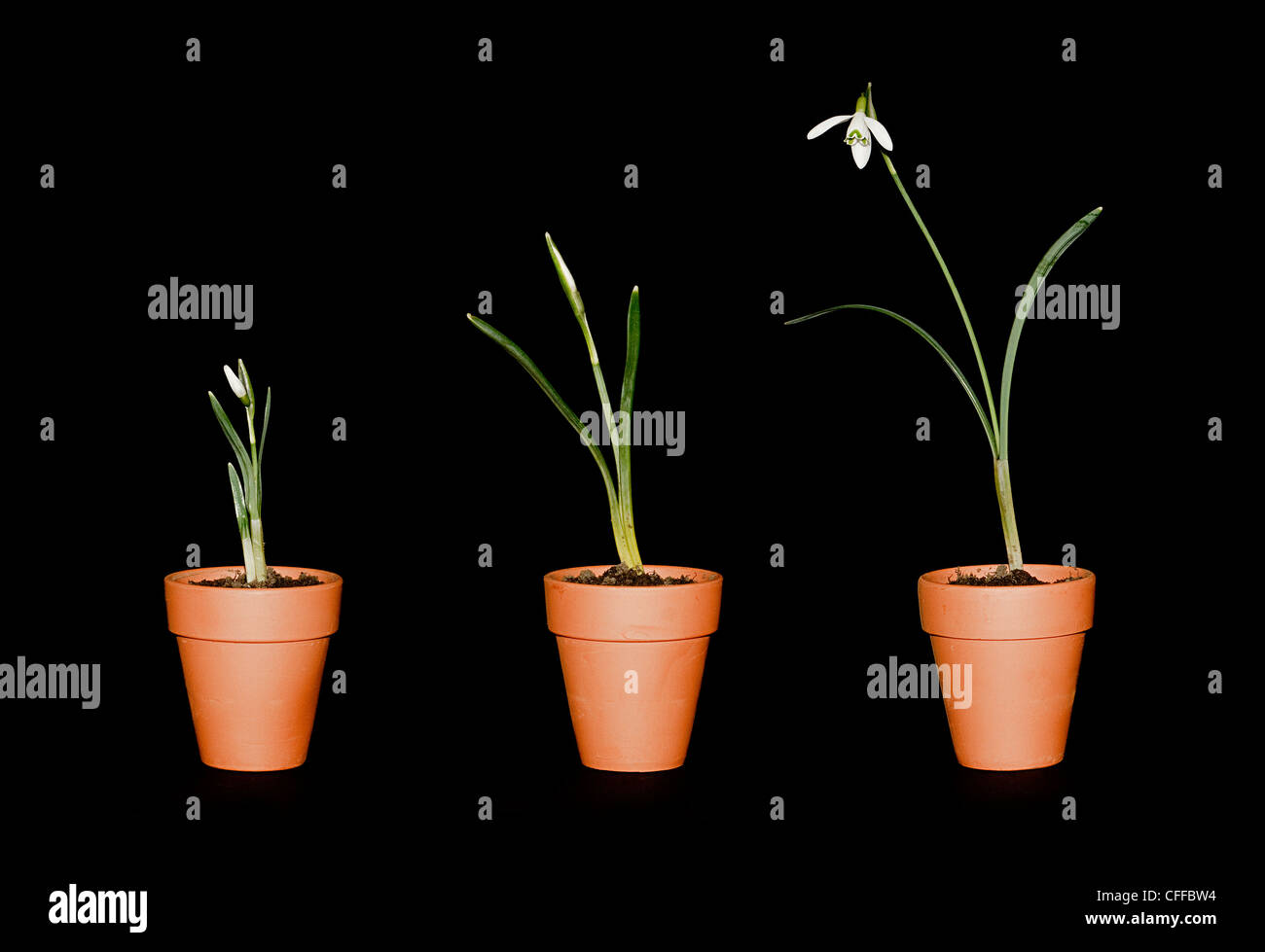 three snowdrops of varying maturity in terracotta plant pots on a black background - Stock Image