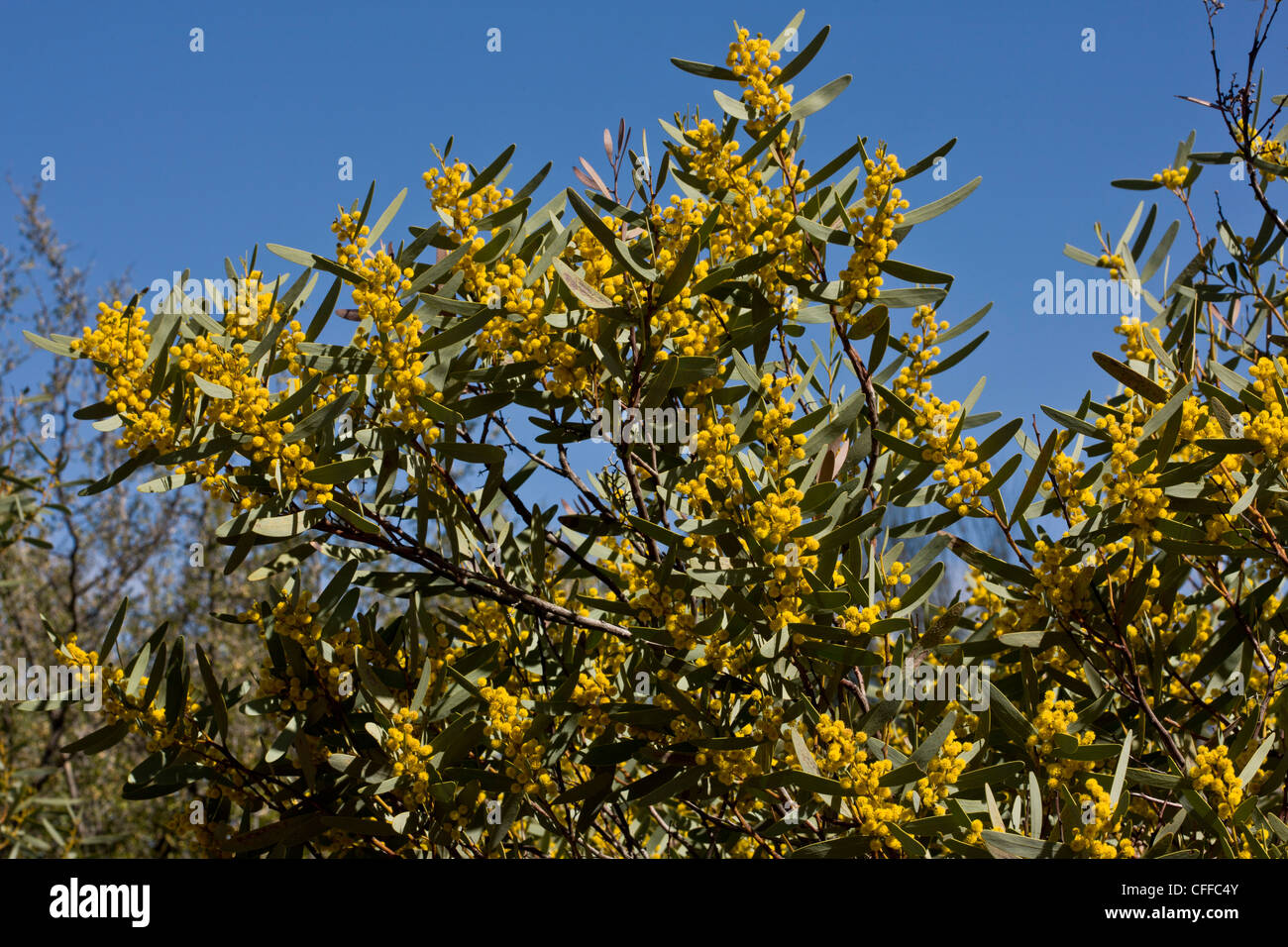 Mallee golden wattle or Flinders wattle, Acacia notabilis in flower. From Australia. - Stock Image