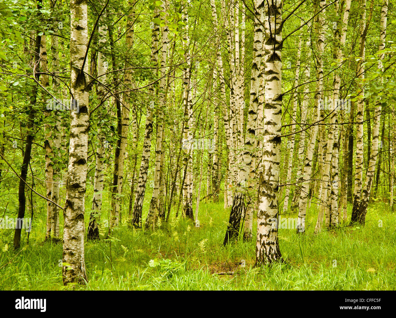 Birch trees on the outskirts of Helsinki Finland - Stock Image