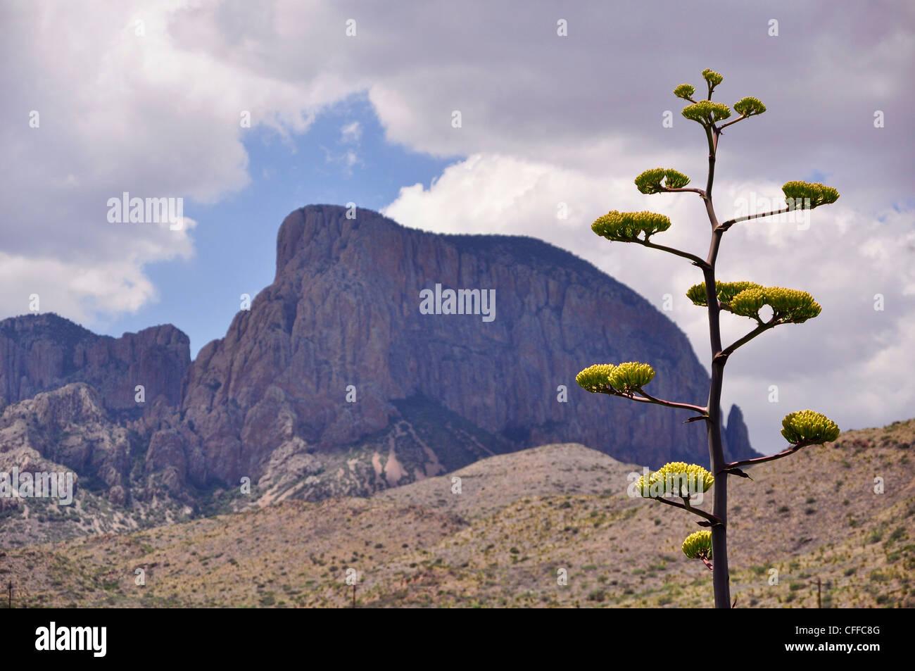 A Century Plant adorns the mountainous landscape of Big Bend National Park. - Stock Image