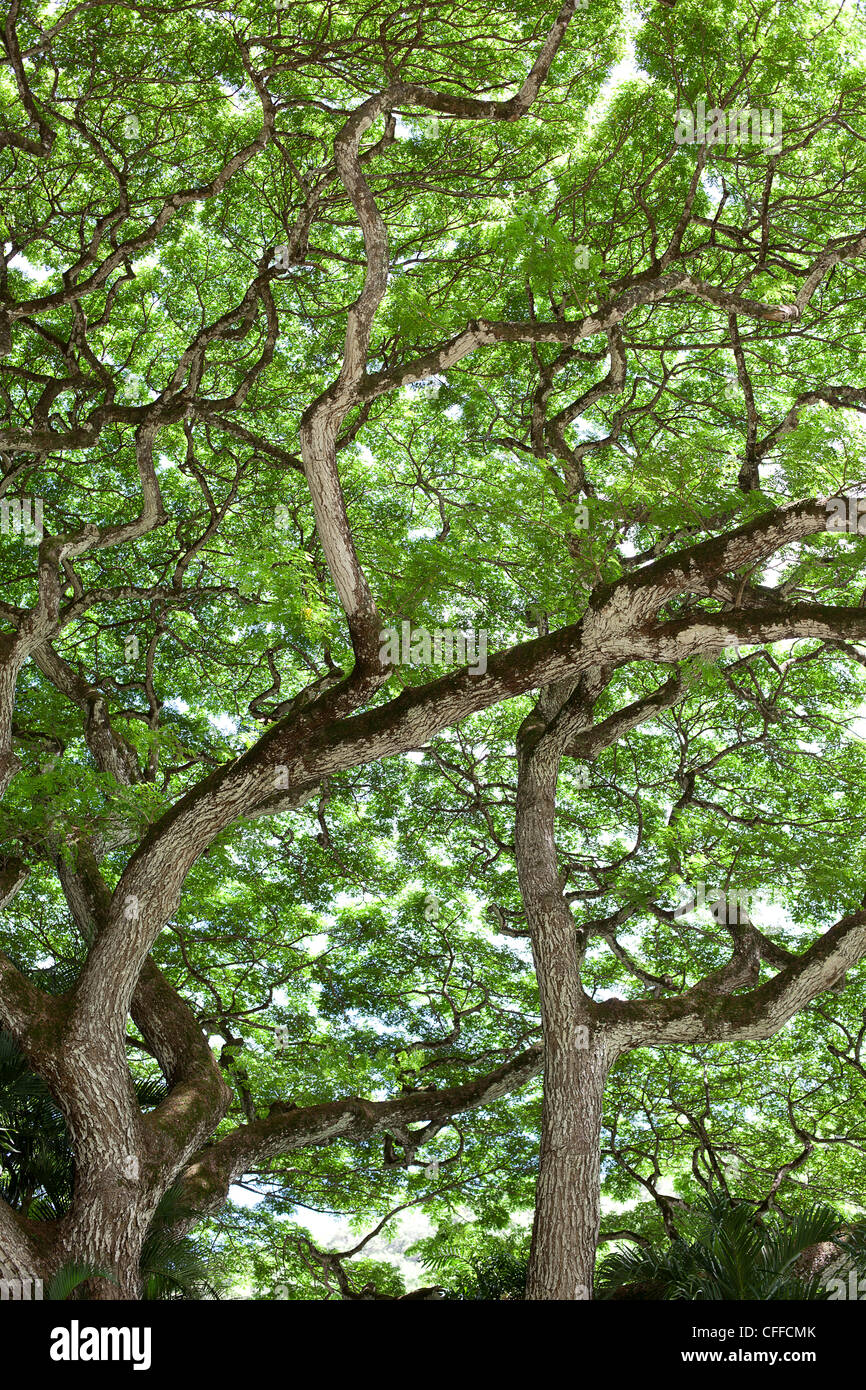 An image of the underside of a large tree canopy in Waimea, Hawaii. Stock Photo