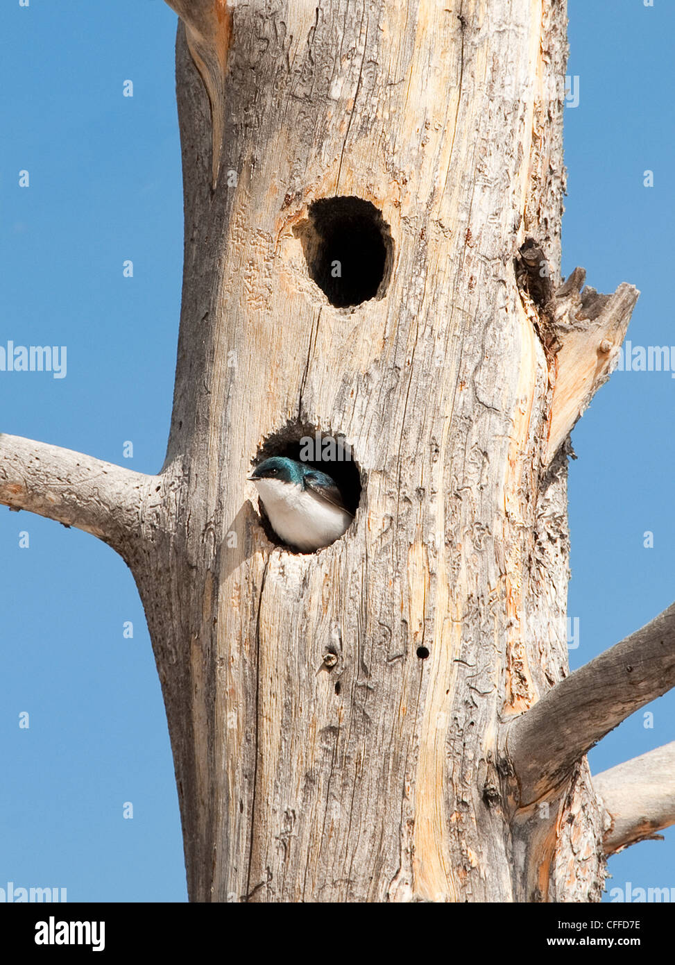 Tree Swallow (Tachycineta bicolor) nesting in dead tree Yellowstone NP Stock Photo