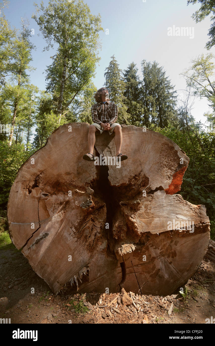 A man sits atop a giant Sitka Spruce. - Stock Image