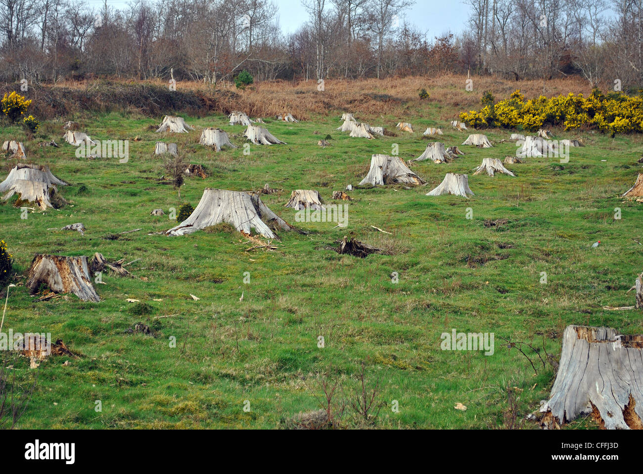 old tree stumps in a field - Stock Image