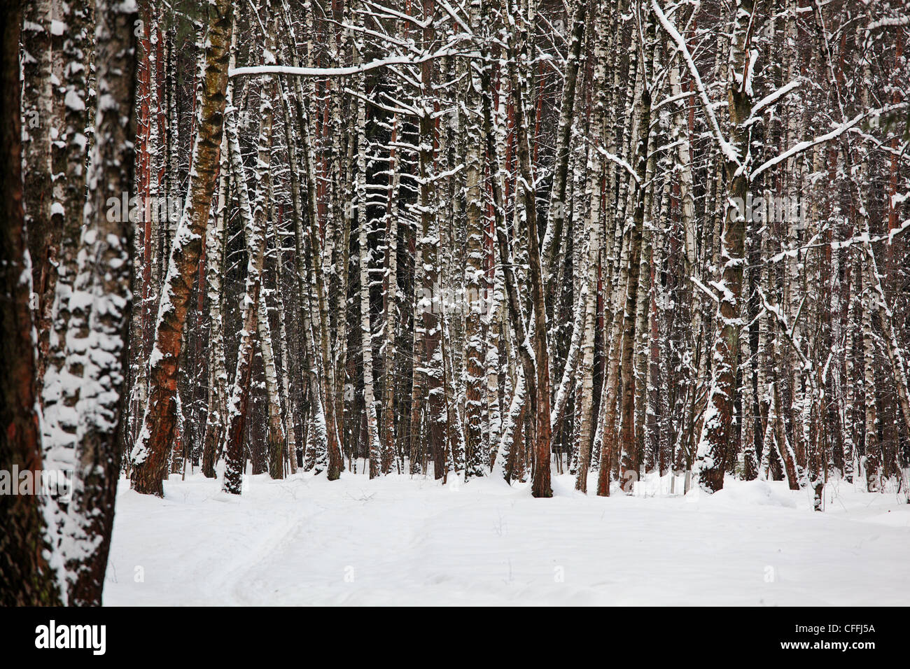 Winter forest. - Stock Image