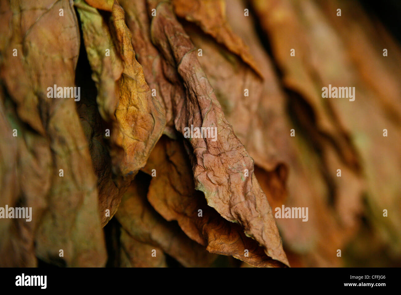 Tobacco Leaves, Detail - Stock Image