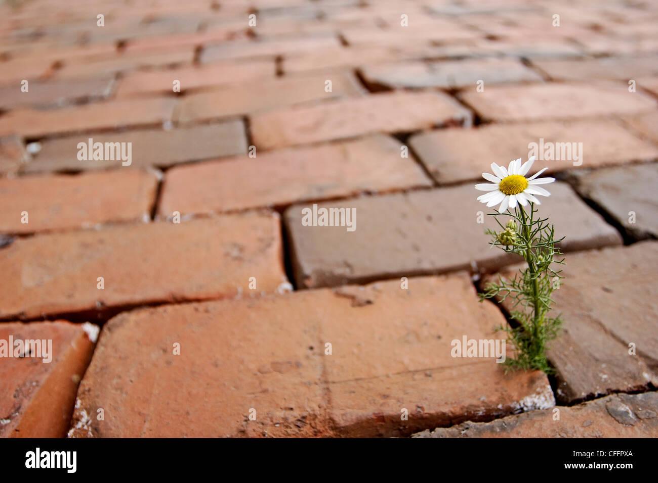 Single Flower in Cobblestones - Stock Image