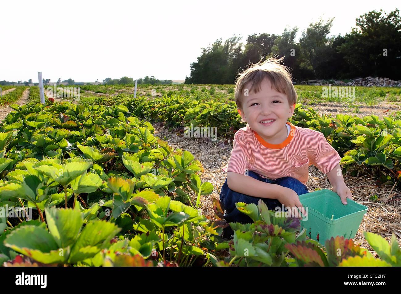 Young Boy Picking Strawberries, Uxbridge, Ontario Stock Photo
