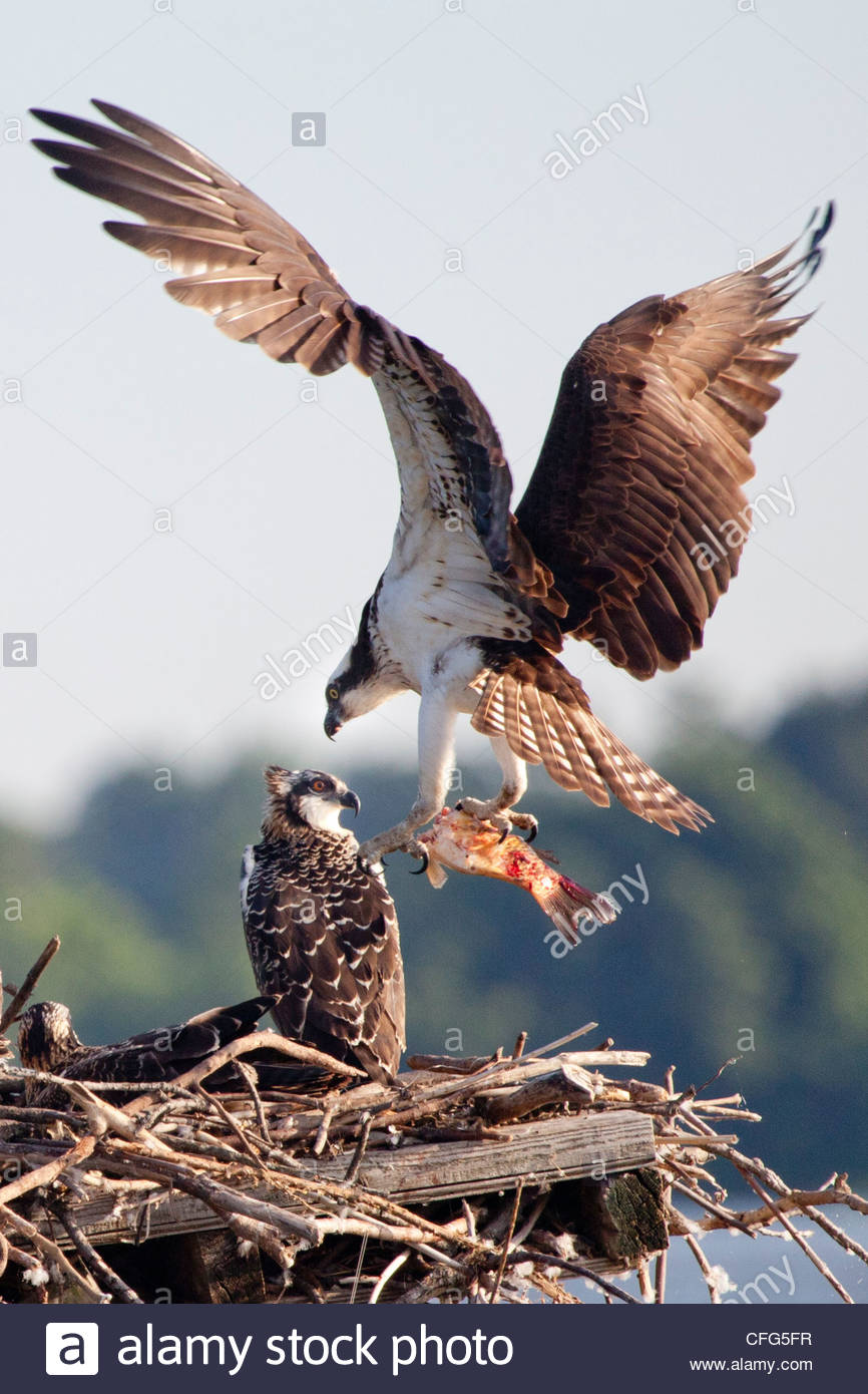 An osprey, Pandion haliaetus, with a fish in talons lands in its nest. - Stock Image