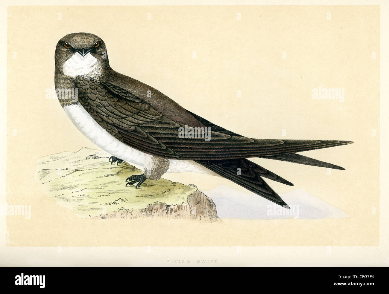 Vintage print of a Alpine Swift, Tachymarptis melba Stock Photo
