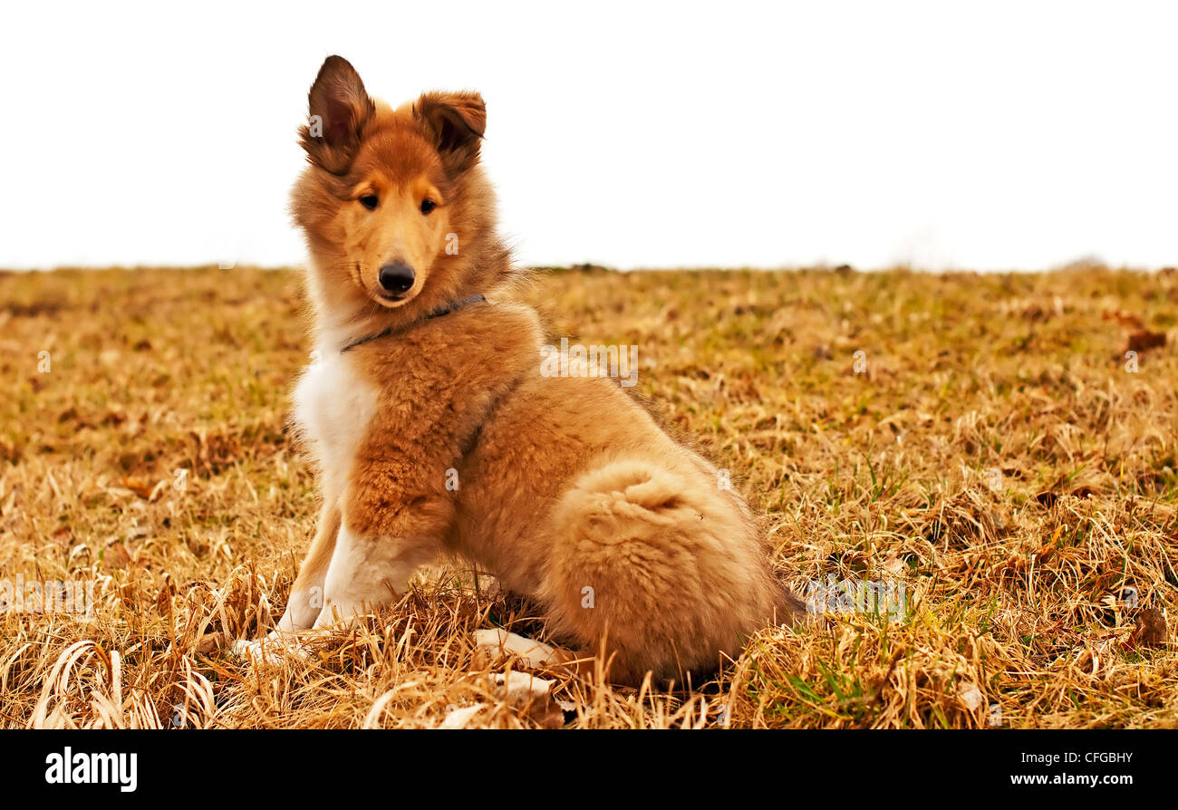 collie whelp - Stock Image