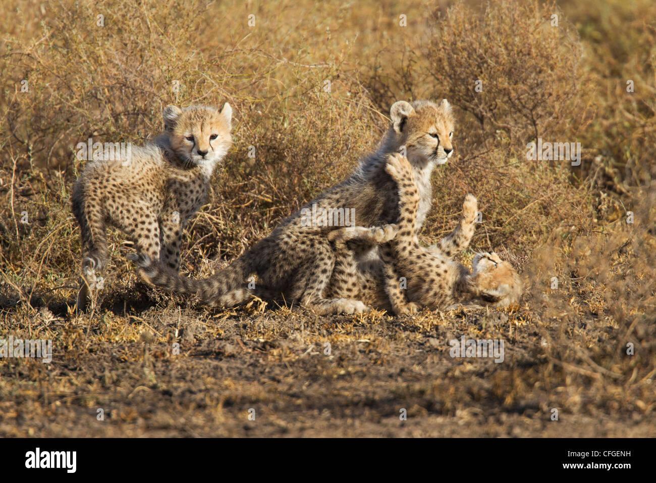 Cheetah clubs at play - Stock Image