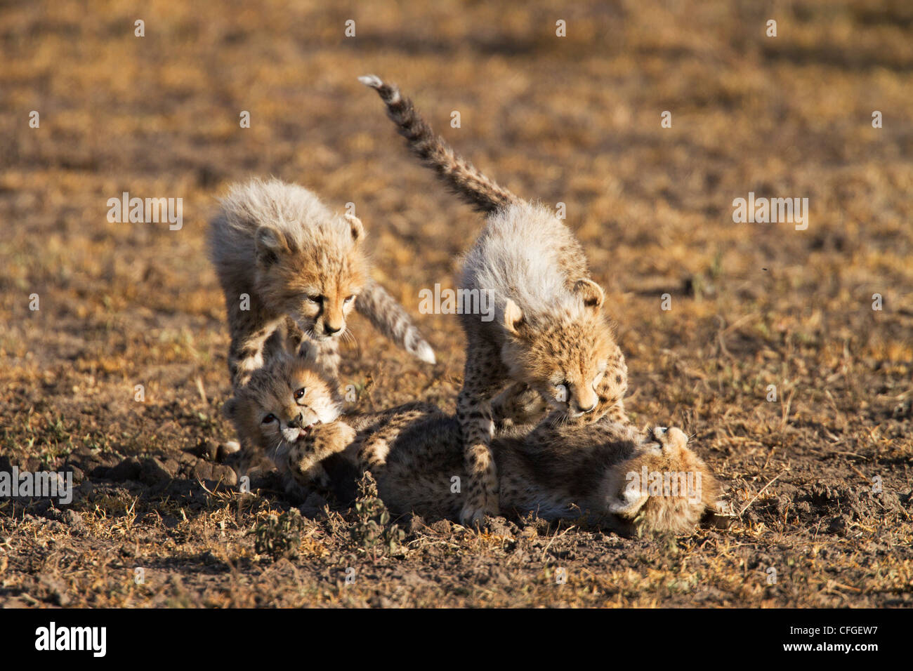 Four cheetah clubs playing - Stock Image