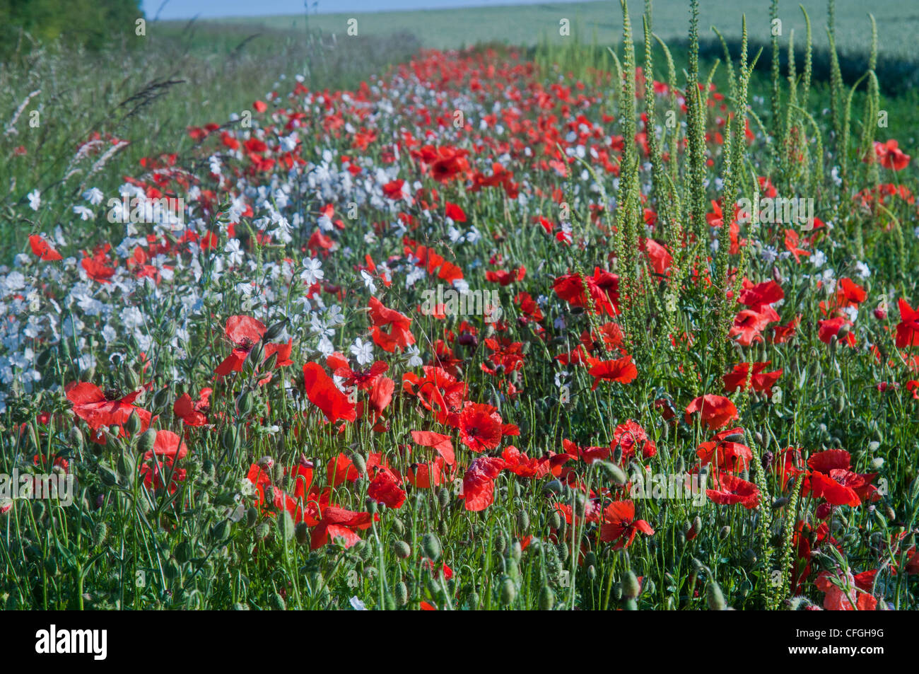 england countrside and poppies - Stock Image