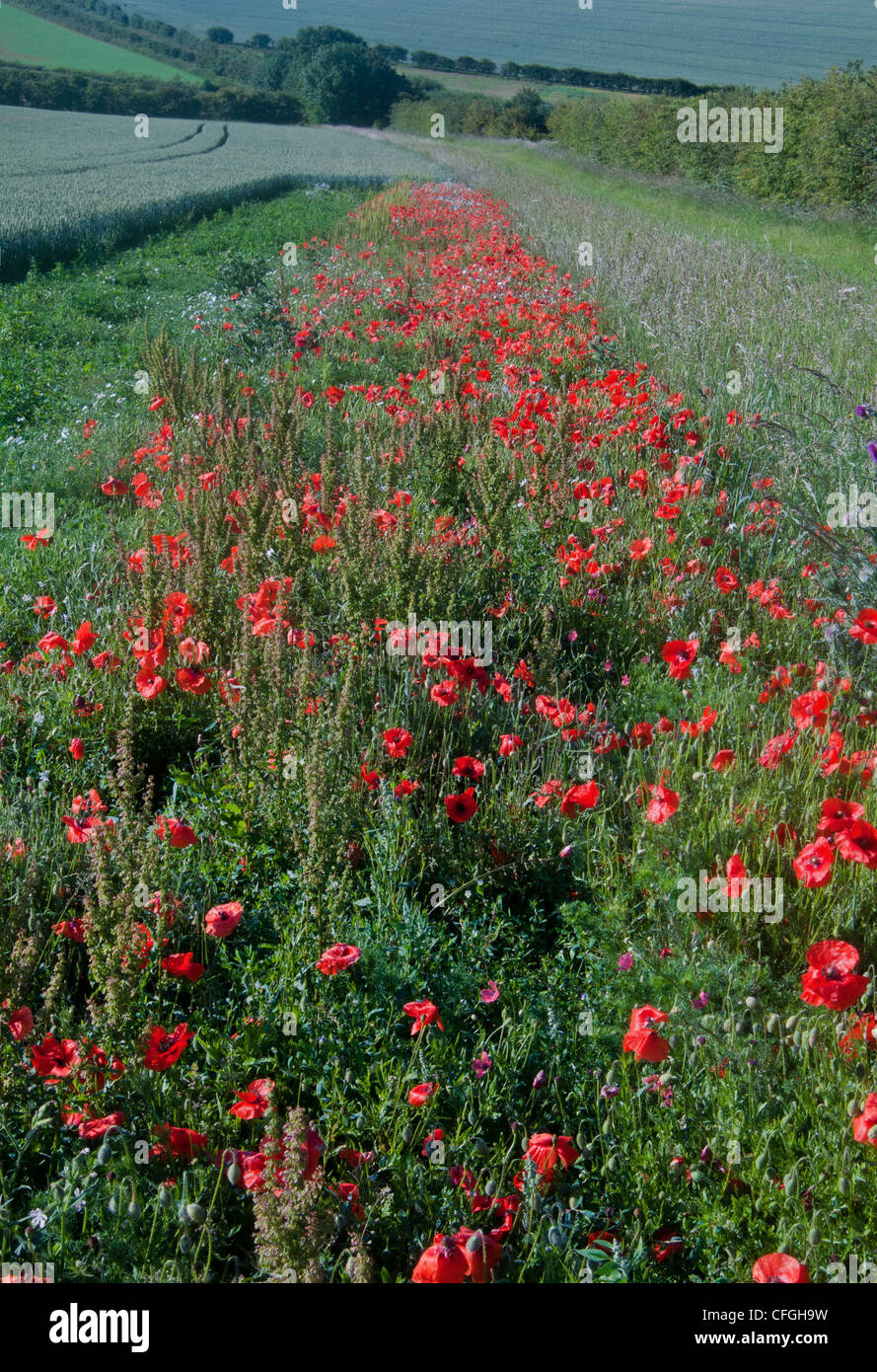 english countrside and poppies on the edge of field - Stock Image
