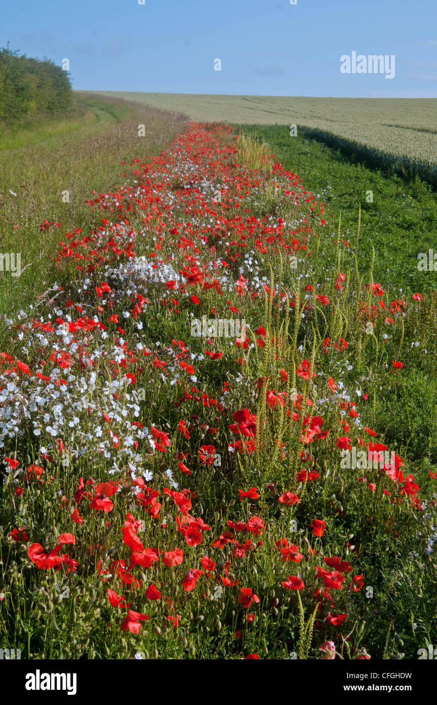 countrside and poppies englands fields - Stock Image