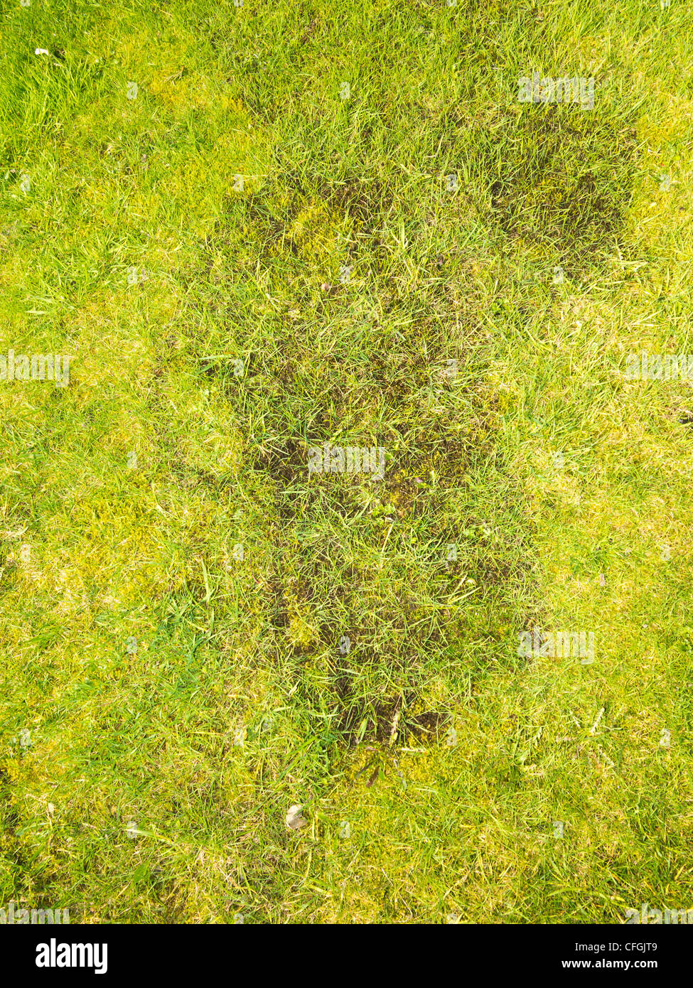 Moss in lawn blackened by mosskiller - Stock Image