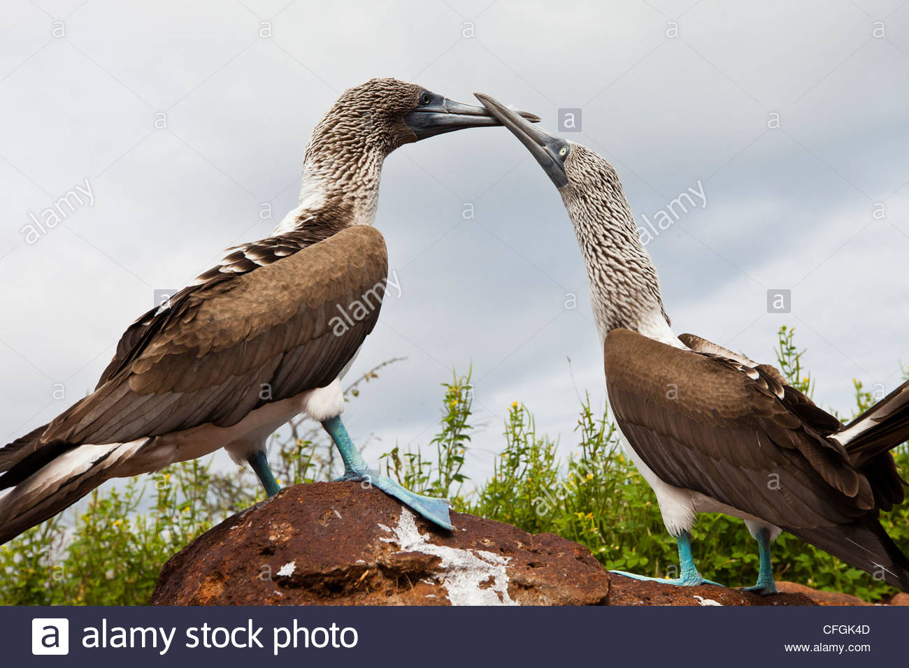 Blue-footed boobies touch beaks in a courtship ritual. - Stock Image