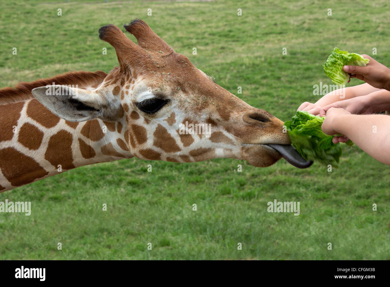 Young Hands Feed a Hungry Giraffe at a Petting Zoo - Stock Image
