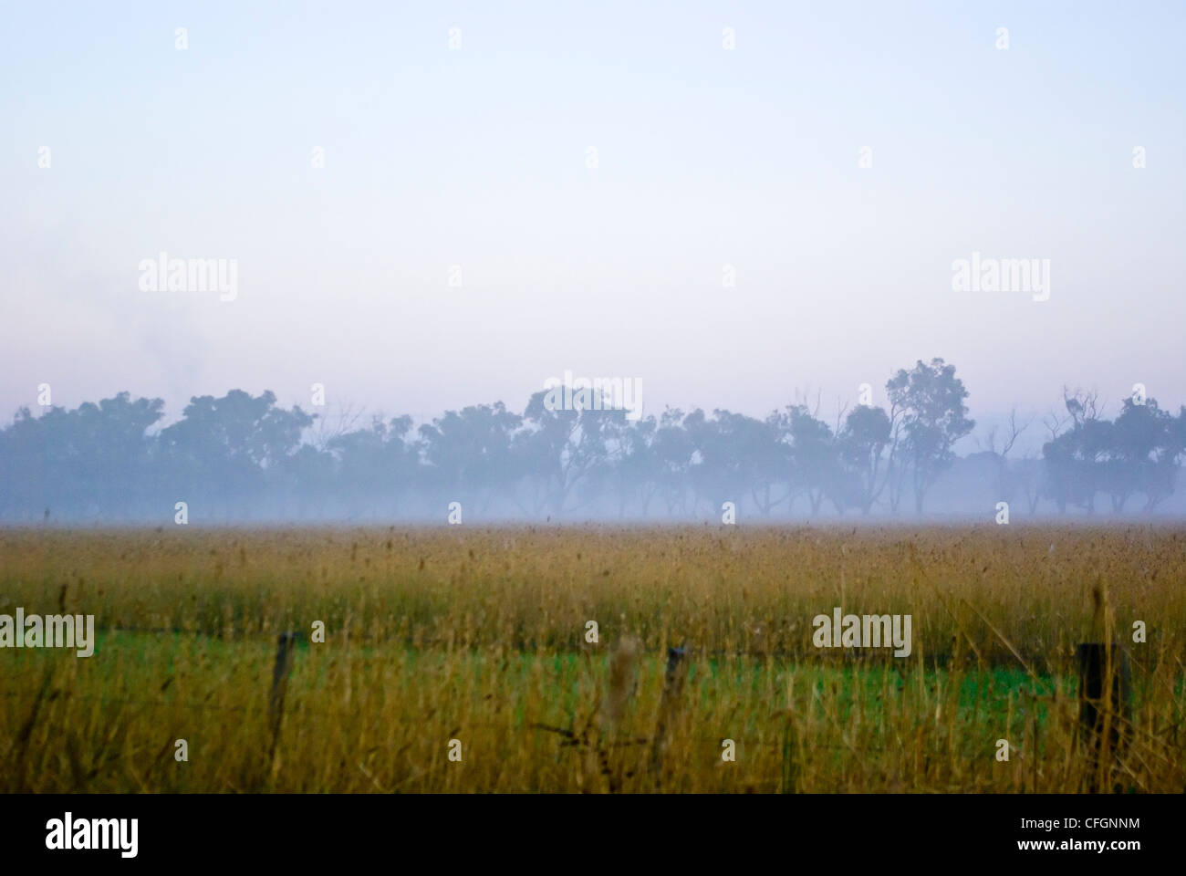 A line of trees above a farm field of wheat in winter fog at dawn. - Stock Image