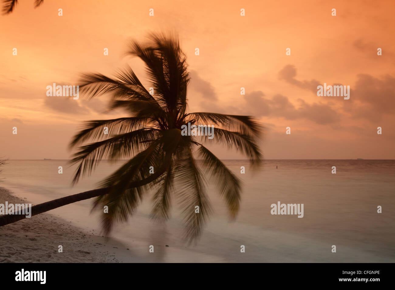 Palm on the beach at sunset, Filitheyo island, Maldives Stock Photo