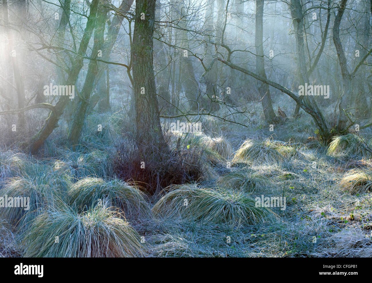 Mist in Sherbrook Valley mid-winter Cannock Chase Country Park AONB (area of outstanding natural beauty) in Staffordshire - Stock Image