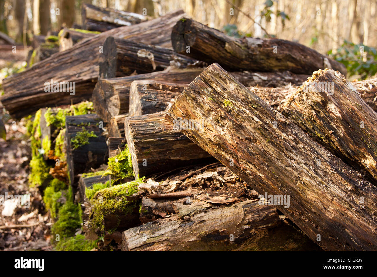 pile of logs decaying and rotting covered in moss giving feed and shelter to creepy crawlies. - Stock Image