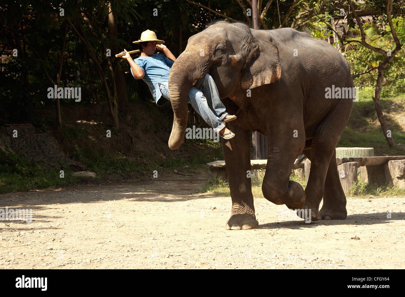 Elk208-4368 Thailand, Chiang Dao, Maetaman Elephant Camp, elephant show - Stock Image