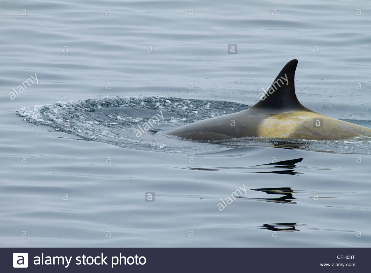 One orca with only back and dorsal fin showing. - Stock Image