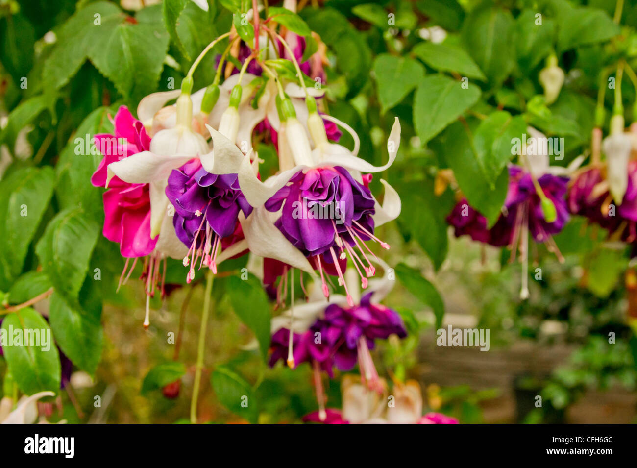 Hanging fuchsia with large double flowers in pink and purple stock hanging fuchsia with large double flowers in pink and purple mightylinksfo