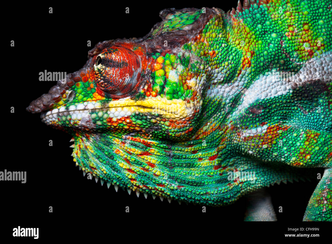 Panther chameleon male in threat display, Madagascar. - Stock Image