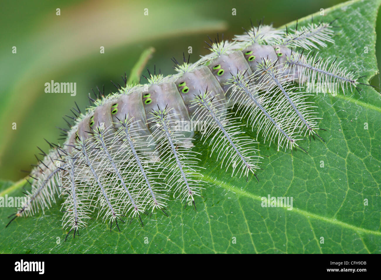Grey caterpillar covered in defensive spines. Maroantsetra, Northeast Madagascar - Stock Image