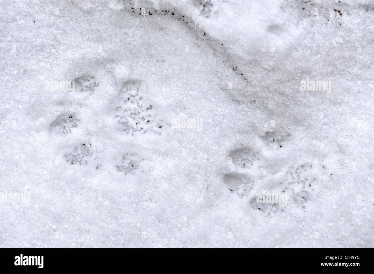 Eurasian lynx (Lynx lynx) footprints in the snow in winter, Bavarian Forest National Park, Germany - Stock Image