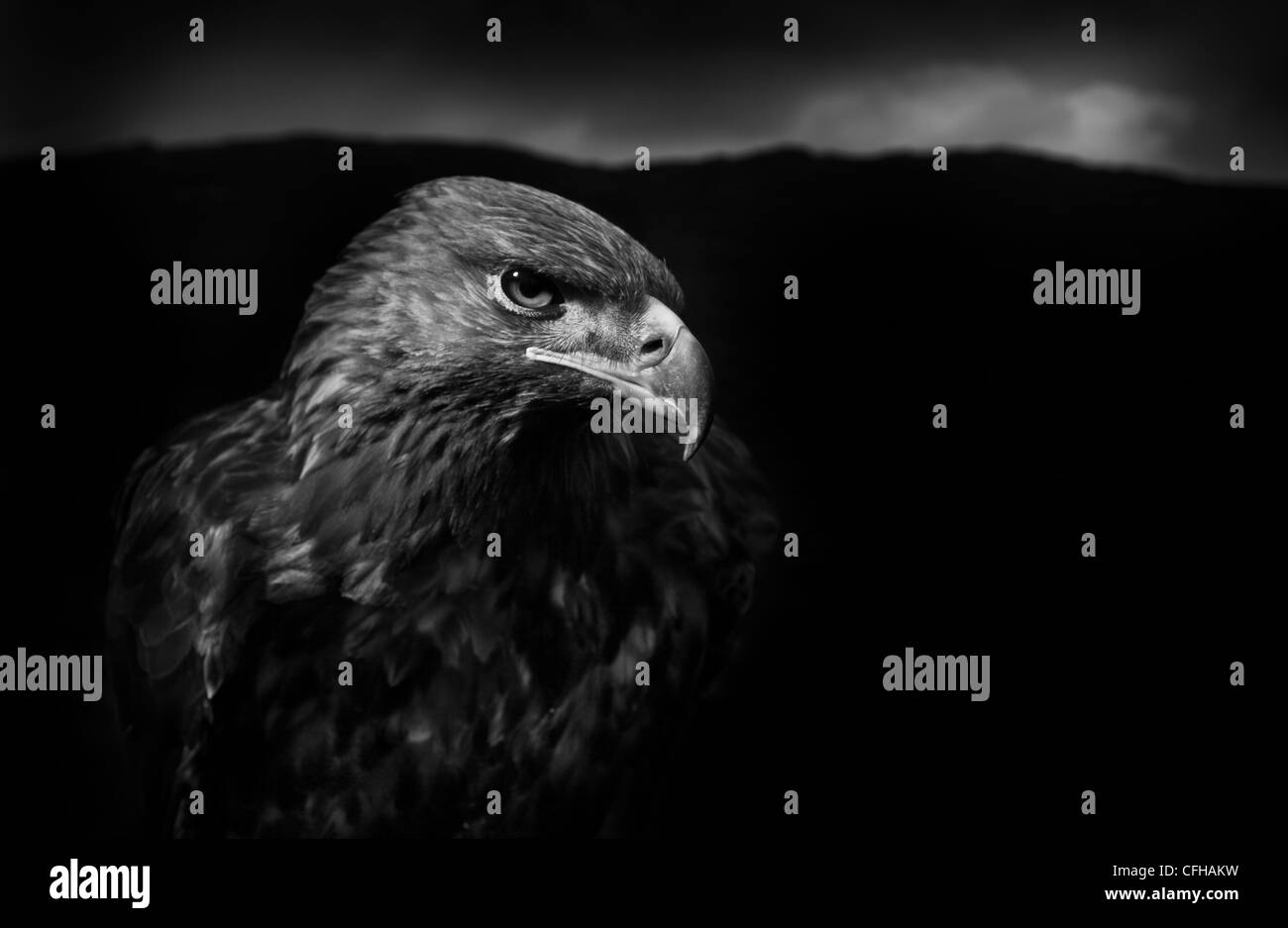 Golden Eagle male, black and white image. Captive bird, UK. - Stock Image