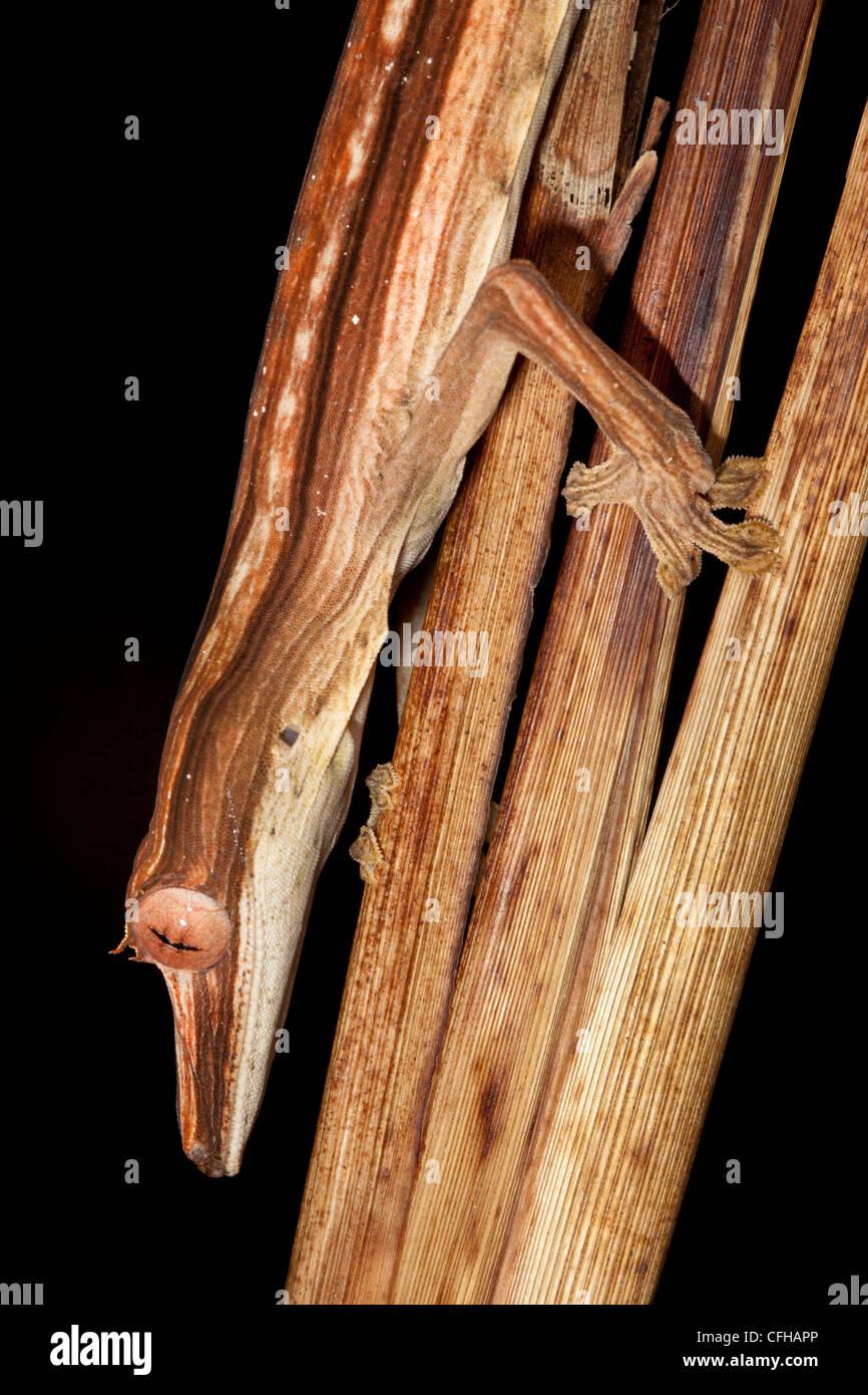 Lined Leaf-tailed Gecko camouflaged amongst dead palm fronds, hunting invertebrate prey at night. Masoala Peninsula, - Stock Image