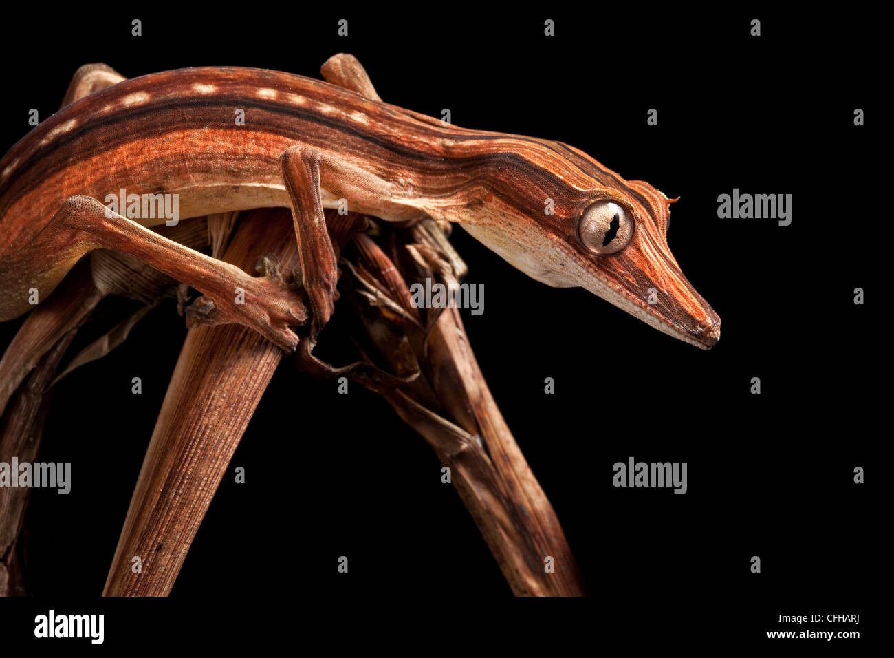 Lined Leaf-tailed Gecko showing darker nocturanal colouration, camouflaged amongst dead palm fronds, Madagascar - Stock Image