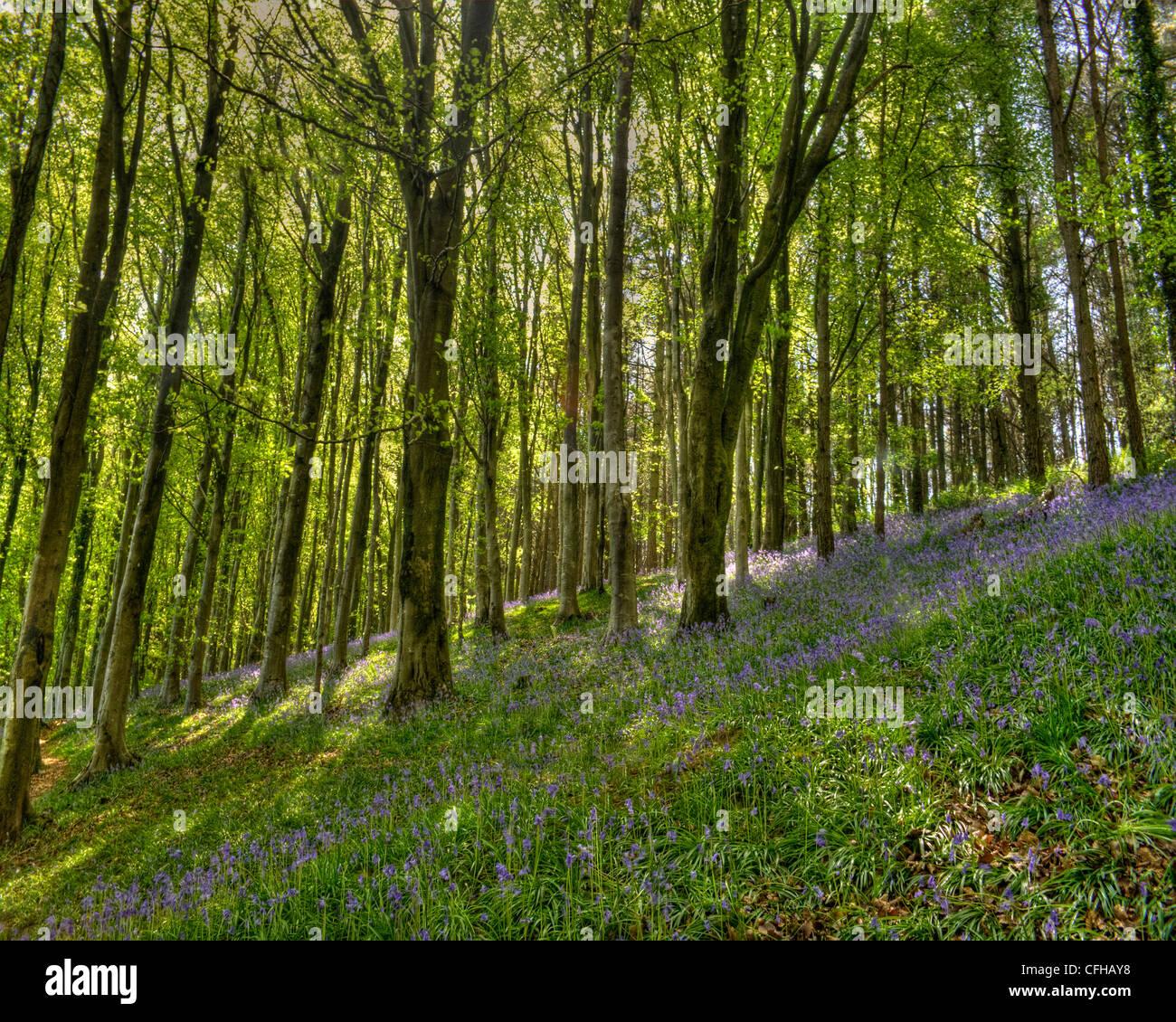 Blue bells in Langdon woods in dorset. - Stock Image