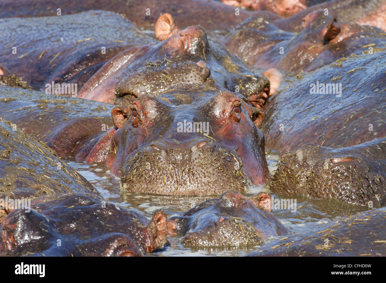 Hippo wallowing in crowded pool - Stock Image