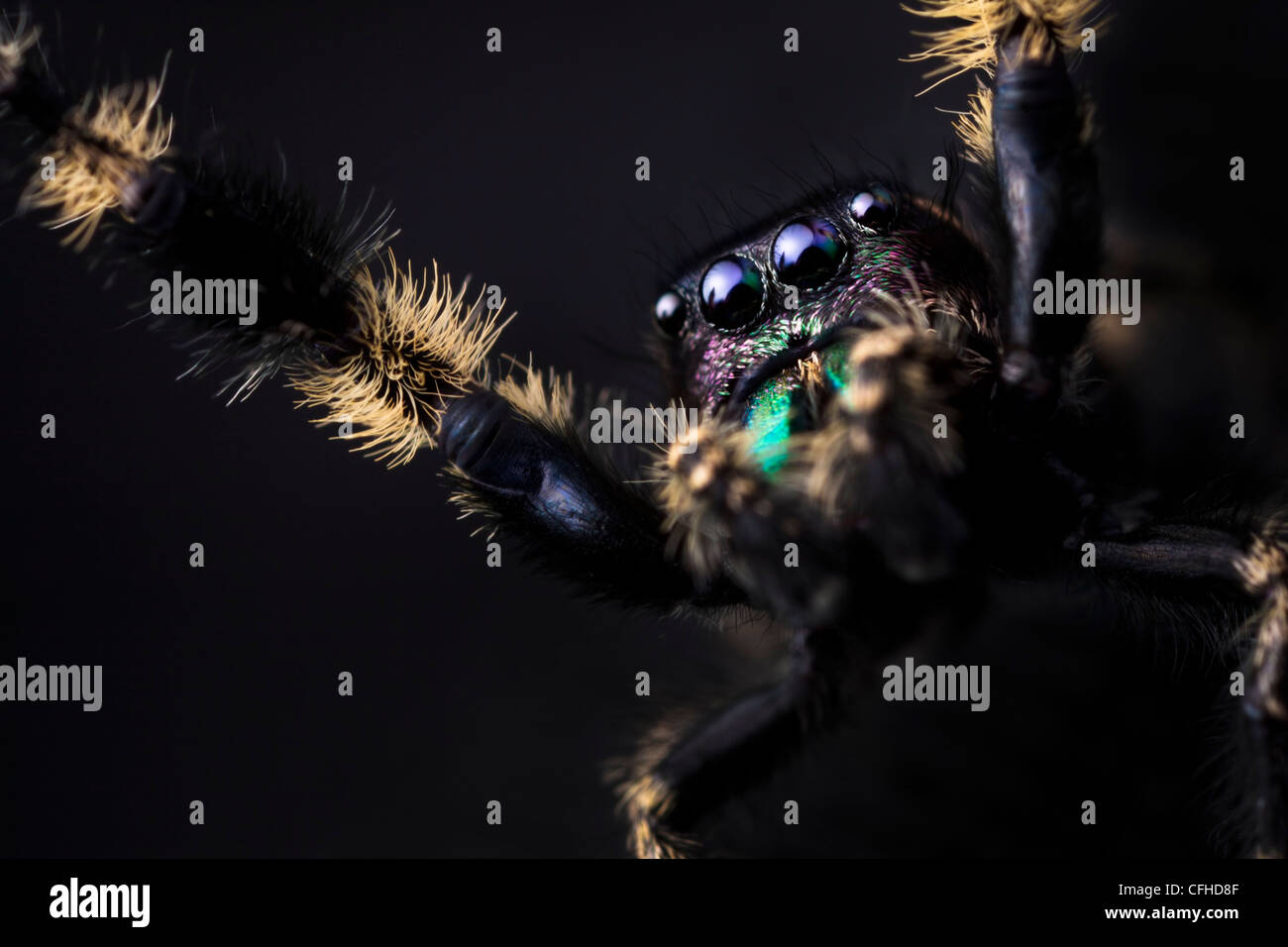 Canopy Jumping Spider male captive, originating from North America. Size < 1cm - Stock Image