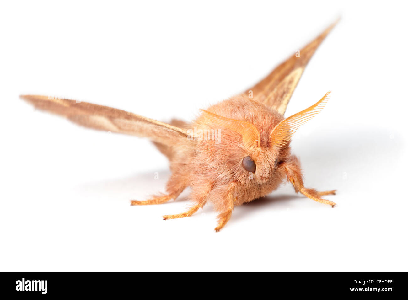 Lackey moth photographed on a white background. Pembrokeshire, UK. July. - Stock Image