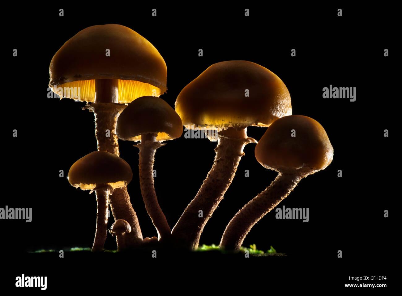 Brown Stew Fungus backlit. Tirol, Austrian Alps - Stock Image