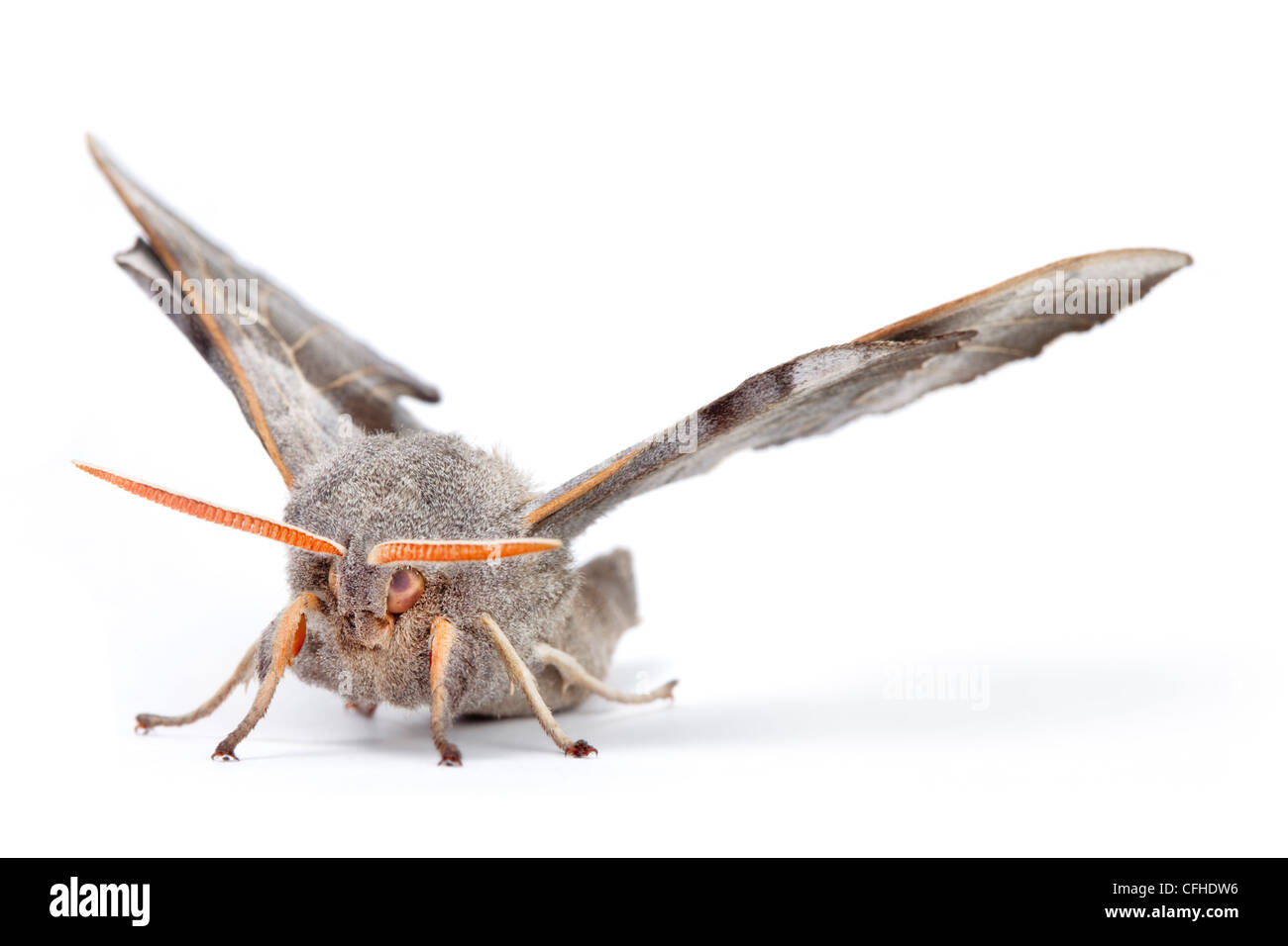Poplar Hawkmoth male photographed on a white background. Pembrokeshire, UK. July. - Stock Image